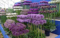 Alliums for the flower garden How to grow alliums, what variety to choose Hardy Easy Not susceptible to any serious plant diseases or pests and even ornamental alliums are deer and rodent resistant because they are technically members of the onion family Cut Flower Garden, Flower Farm, Flower Beds, Flower Gardening, Organic Gardening, Gardening Blogs, Vegetable Gardening, Flowers For Garden, Small Flower Gardens