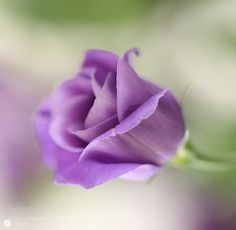 Simple beauty by Tracy99. @go4fotos