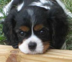 Sonesta Cavaliers - Quality Cavalier King Charles Spaniels - Litter 15