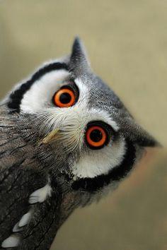 White-Faced Scops Owl...