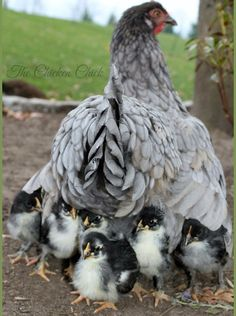 Iris and chicks