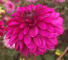 Snoho Betty  Brilliant deep purple color with light purple underside. Very beautiful. Great cut flower Deep Purple Color, Light Purple, Dahlias, Zinnias, Purple Dahlia, Great Cuts, Cut Flowers, Garden, Beautiful