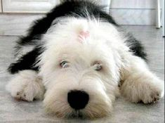 17 Best images about Passion on Pinterest | Sheep dogs, English ...