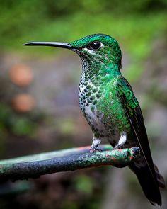 Birds ©: Hummingbird [by Juhani Viitanen]. Pretty Birds, Beautiful Birds, Animals Beautiful, Cute Animals, All Birds, Little Birds, Love Birds, Hummingbird Pictures, Hummingbird Art