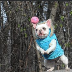 """""""Keep your eye on the ball, focus, focus..!"""" French Bulldog, by threelittlefrenchies"""