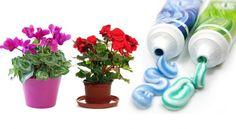 Зубная паста — самая необычная подкормка для комнатных цветов — Мир интересного