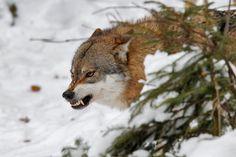 Wolf by Milko Marchetti