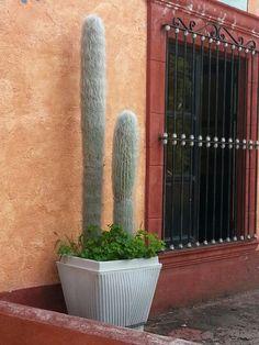 #Cactus #Old Man Cactus Invernadero de cactus