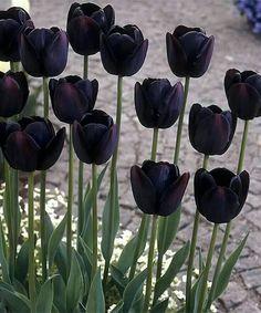 Bulbe Fleur Tulipe Queen Of The Night Violet Foncé Jardinage Automne x 8