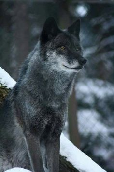 Wolve are still wild animals.All dogs are descended from the wolf. This does not mean they should be domesticated. Wolf Photos, Wolf Pictures, Animal Pictures, Beautiful Wolves, Animals Beautiful, Tier Wolf, Husky, Wolf World, Wolf Wallpaper