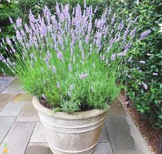 Potted lavender – Ina Garten - All For Herbs And Plants Container Plants, Container Gardening, Potted Lavender, Provence Lavender, Lavender Planters, French Lavender Plant, Lavander, Pot Jardin, Sandy Soil