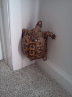 The CA earthquake scared my pet turtle and now he won't get off the wall.