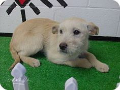 #GEORGIA #URGENT ~ ID 13D-0788 is a small female #adoptable Terrier #Puppy dog in #Rome. Act quickly to #adopt her as Pets at this shelter may be held for only a short time. FLOYD COUNTY ANIMAL CONTROL  431 Mathis Road SE  #Rome GA   30161 Ph 706-236-4537 broomej@floydcountyga.org Out of state #rescues needing help contact hope@hope4dogs.net & rondawoman22@aol.com & rescue4floyd@yahoo.com