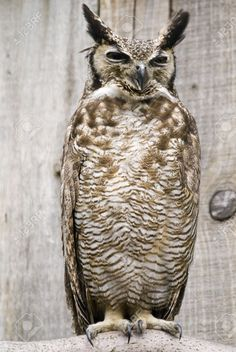 4326055-Close-up-of-South-American-Great-Horned-Owl-Bubo-virginianus-nacurutu--Stock-Photo.jpg (870×1300)
