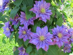 Clematis alpina Purple Dream