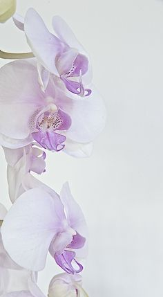 Phalaenopsis: Vertical by Doug Stewart on 500px
