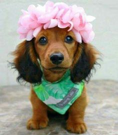 Dachshund Long haired Puppy with a flower crown! Long haired Puppy with a flower crown! Dachshund Funny, Dachshund Puppies, Weenie Dogs, Dachshund Love, Cute Puppies, Cute Dogs, Dogs And Puppies, Dapple Dachshund, Doggies