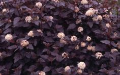 Summer Wine Nine Bark. Shrubs in the front yard - use again in the back. Grows very quickly and full (5x7ft+).