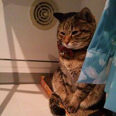 「おはにゃーん❗good morning❗  #ねこ #猫 #猫写真 #ネコ #しましま軍団 #キジトラ #キジネコ #きじねこ #きじとら #cat #catstagram #igclubcats #instacat #neko #tabby #kitty #neko #meow #고양이」