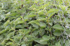 Naturalne środki ochrony roślin i nawozy (wyciągi, gnojówki) są bezpieczne dla środowiska i łatwe w przygotowaniu. Pokrzywa, którą spotyka się prawie we wszystkich ogrodach, jest doskonałym materiałemna tego typu preparaty. Rozcieńczoną gnojówką z pokrzywy (1:10) można nawozić warzywa lub zwalczać szkodniki roślin (do oprysku rozcieńczamy ją wodą w proporcjach 1:20); oprysk stosuje się m.in. …