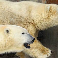"""L'ours polaire """"vedette"""" du zoo de Saint-Petersbourg meurt à 27 ans"""