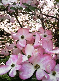 Pretty Pink Dogwood Blossoms Pink Dogwood, Dogwood Trees, Dogwood Flowers, Rare Flowers, Flowering Trees, Pretty In Pink, Pink Flowers, Beautiful Flowers, Types Of Flowers