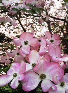 Pretty Pink Dogwood Blossoms