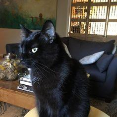 #jackblackthecat #blackcatsarebeautiful #beautiful #lovecats #blackcatsofinstagram #catsoninstagram #instacats #instakitties @blackbabies @bigblackbog @cats_of_instagram @cats.and.company @catsmusical