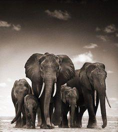 elefantes                                                       … …