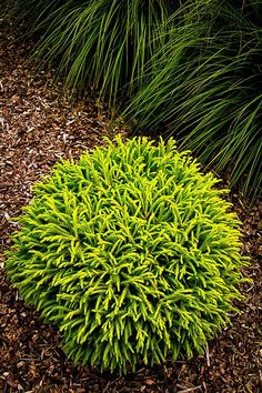 Dwarf Japanese Cedar - Monrovia -Slowly forms a dense dome 2 to 3 ft. 4 to 8 ft. tall with age. W Dwarf Japanese Cedar - Monrovia -Slowly forms a dense dome 2 to 3 ft. 4 to 8 ft. tall with age.