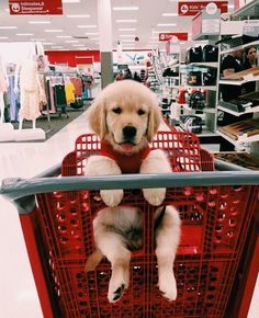 Best Of Cute Golden Retriever Puppies Compilation - Funny Dogs 2018 ⋆ Many Funny Videos Cute Little Animals, Cute Funny Animals, Funny Animal Pictures, Dog Pictures, Funny Dogs, Dog Photos, Golden Puppy, Cute Dogs And Puppies, Doggies