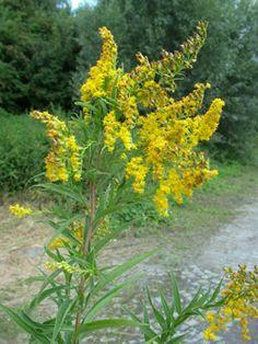 zlatobýl obrovský - Solidago gigantea | Květena České republiky - plané rostliny…