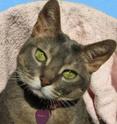 This is another Abyssinian cat. Beautiful.  This cat's coloring is awesome!