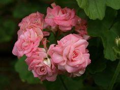 Grainger's Antique Rose geranium