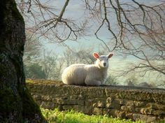 England / Countryside with stone wall and sheep Alpacas, Farm Animals, Animals And Pets, Cute Animals, Funny Animals, Beautiful Creatures, Animals Beautiful, Sheep And Lamb, All Nature