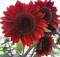 A beautiful Sunflower for the potager~ Moulin Rouge--lovely earthy color My Flower, Beautiful Flowers, Sunflower Flower, Sunflower Seeds For Birds, Sunflower Garden, Yellow Sunflower, Cactus Flower, Exotic Flowers, Moulin Rouge