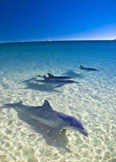 The Dolphins of Monkey Mia Beach, Australia. Who else love dolphins? The Ocean, Ocean Life, Orcas, Animals Beautiful, Cute Animals, Ocean Creatures, Ocean Photography, Sea World, Nature Animals
