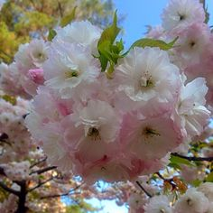 Lovely Double cherry blossoms, it's called a Yaezakura or Satosakura in Japan. ✨✨