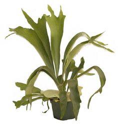 Google Image Result for http://imgsrv.gardening.ktsa.com/image/ktsag/UserFiles/Image/S_Images/staghorn%2520fern.jpg