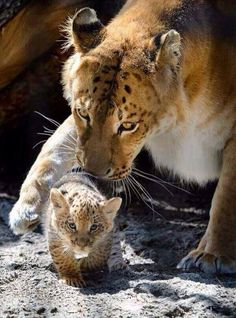 cub...I thought all Ligers were sterile!  Wonder what the dad was and what you would call a 3/4 tiger or 3/4 lion?