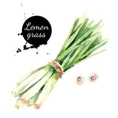 Picture of Watercolor hand drawn lemongrass. Isolated eco natural food vegetables herbs illustration on white background stock photo, images and stock photography. Watercolor Illustration, Watercolor Fruit, Watercolor Paintings, Watercolour, Adult Coloring Book Pages, Coloring Pages, Spice Image, Circle Template, Herbs