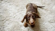 Dachshund Puppies: Cute Pictures And Facts - DogTime Weimaraner Puppies, Dachshund Rescue, Dapple Dachshund, Dachshund Puppies, Corgi Dog, Wiener Dogs, Free Puppies, Funny Dachshund, Chihuahua Dogs
