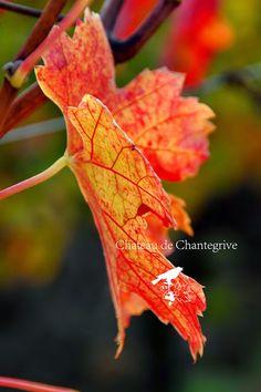 """La vigne orangée et les feuilles qui """"fall"""" en Automne. Chantegrive - dormance - anthocyanes - sève - rouge - red - graves - bordeaux - leaves - vines - Merlot - sleeping"""