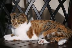 Our Scottish Fold cats -