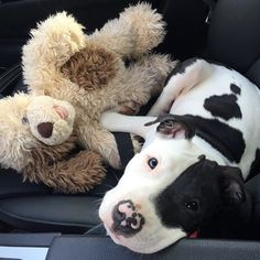 LOVE a Pitty (and her Bear).  You'll never regret it!!