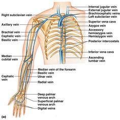 Varicose Vein Removal, Varicose Veins, Circulatory System, Lymphatic System, Blood Vessels Anatomy, Arm Anatomy, Nerve Anatomy, Muscle Anatomy, Anatomy Study