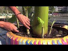 Plátanos y Guineos en Huertos Urbanos - YouTube