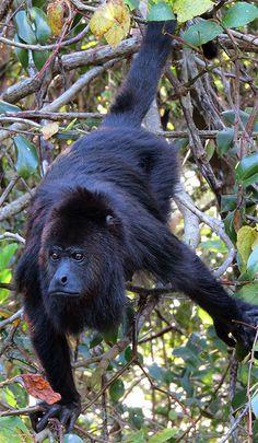 Black Howler Monkey, largest New World monkey Primates, Mammals, Black Animals, Zoo Animals, Cute Animals, Types Of Monkeys, New World Monkey, Slow Loris, Magnificent Beasts