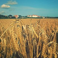#barley #field #norfolk #uk #mundesley #countryside #rural #corn  » LinanDara's Art-n-Folk Urban Photography, Landscape Photography, Vintage Country, Norfolk, Farm Animals, Farmer, Countryside, Fields, Vineyard