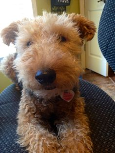 I want a Welsh Terrier. They're little baby versions of Airdales.
